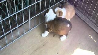 珍犬チベタン、テリアの 生後30日目の可愛い仔犬.