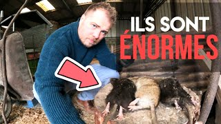 Rat noir VS rat d'égout se dispute le territoire !