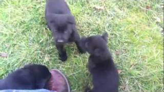6 Week Old Labrador/german Shepherd Mix Puppies Playing