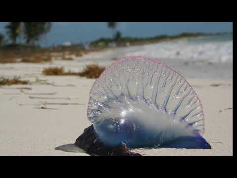 Facts: The Portuguese Man Of War
