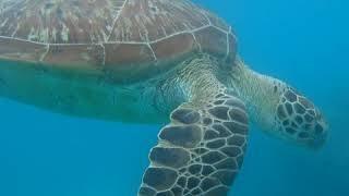 Большой Барьерный риф или как меня покатала Большая Черепаха. Great Barrier Reef. Big sea turtle.