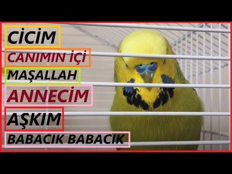 Konuşan Muhabbet Kuşu Fıstık - Cicim Canımın içi  Maşallah Annecim Aşkım Babacık Cici kuş indir