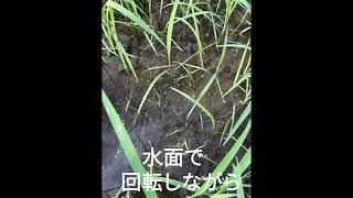 新規水稲用中後期除草剤 ウィードコア1キロ粒剤が溶ける様子