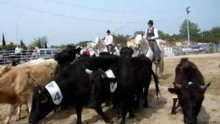 Tri de bétail (Feria st martin de crau 24/04/10)