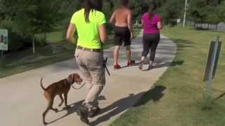 Distraction Training, Vizsla Puppy, Day 12: Shopping, Parks, Directional Place