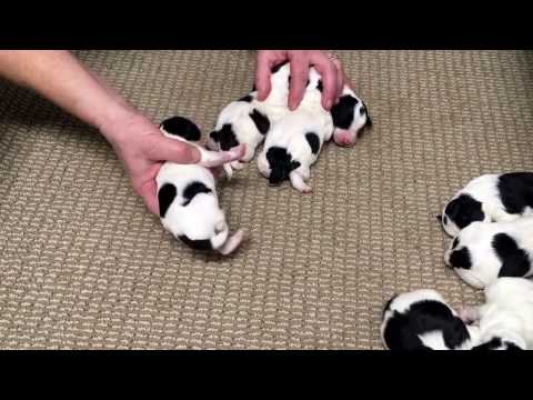 Liberty's schnoodle puppies 3 days old today 2-8-17