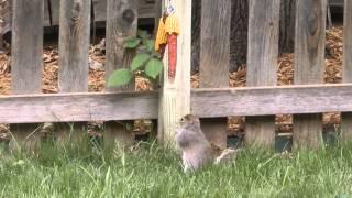 Squirrel Eating Corn On The Cob From Bungee Cord Feeder, Lenexa, Kansas