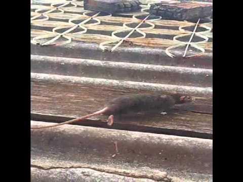 Rato no telhado