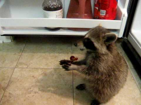 Baby Raccoon Eating Grapes Youtube