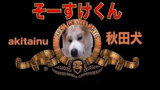 今日も元気一杯お帰りなさいでお出迎え 秋田犬ソウスケ君 柴犬ではあり...