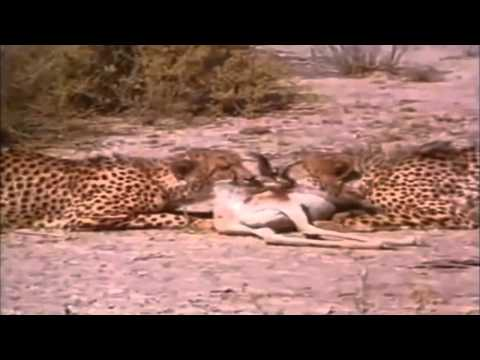 Bushmen Have No Fear As They Run Up On two Cheetahs  Steal Their Food! Cheetahs Back Down