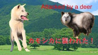 カモシカに襲われたkishudog VS deer【Samurai dog TV】