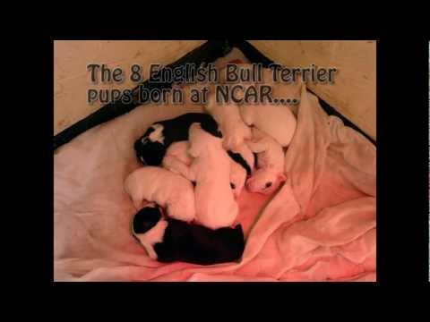Wendy the English Bull Terrier's pups (Wendy and pups all adopted!).mpg