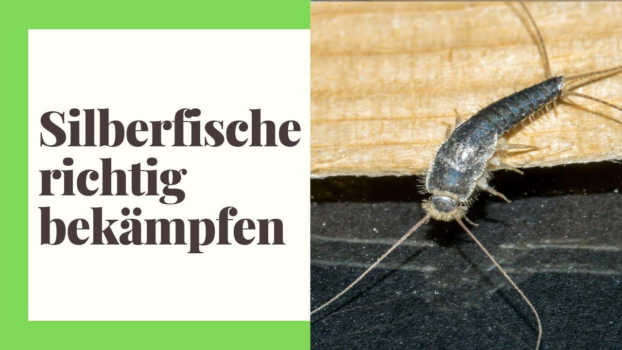 Silberfische Was Tun Wir Zeigen Wie Man Die Insekten
