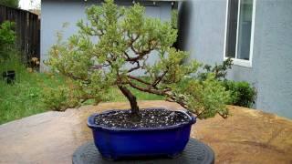 Juniper Bonsai Annual pruning and potting Part 1.mp4