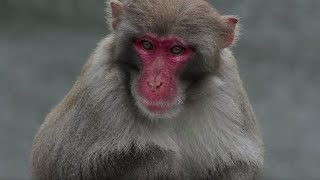 Wild Monkeys Roaming The Streets Hong Kong | BBC Earth