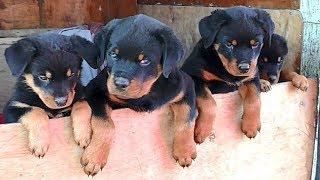 ПРОДАЮТСЯ ЩЕНКИ РОТВЕЙЛЕРА ОДЕССА. For sale Rottweiler puppies. Odessa.