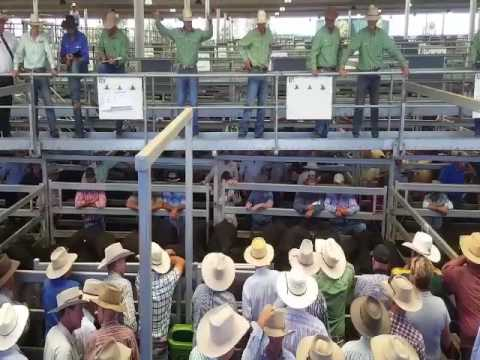 Landmark Classic Special Store Cattle Sale 2017 - Australian Auctioneer - Joel Fleming