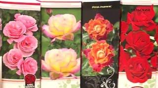 видео Розы-шрабы: что это такое, фото, описание, посадка, уход, сорта