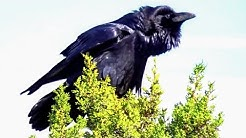 Giant Raven with silent call in Arizona near Grand Canyon National Park