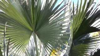 Bismark Palm tree   Bismarckia nobilis HD 02