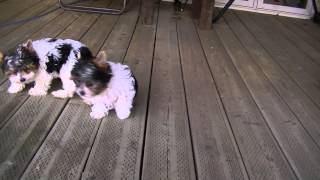 Panda Yorkies /  Biewer Yorkshire Terrier Pups