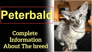 Peterbald. Pros and Cons, Price, How to choose, Facts, Care, History
