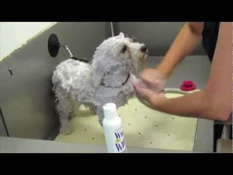 Bichon Frise. Bath time using Chris Christensen White on White Kit.