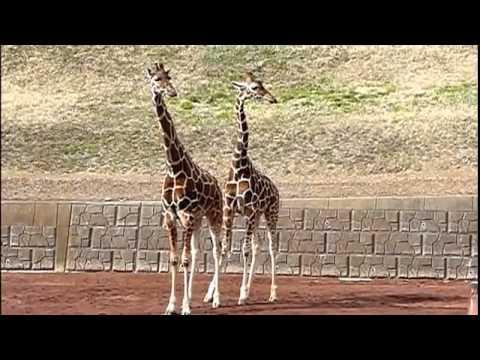 Как размножаются жирафы