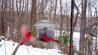 Winter Birds' Feeding Frenzy  (cats Love It!)