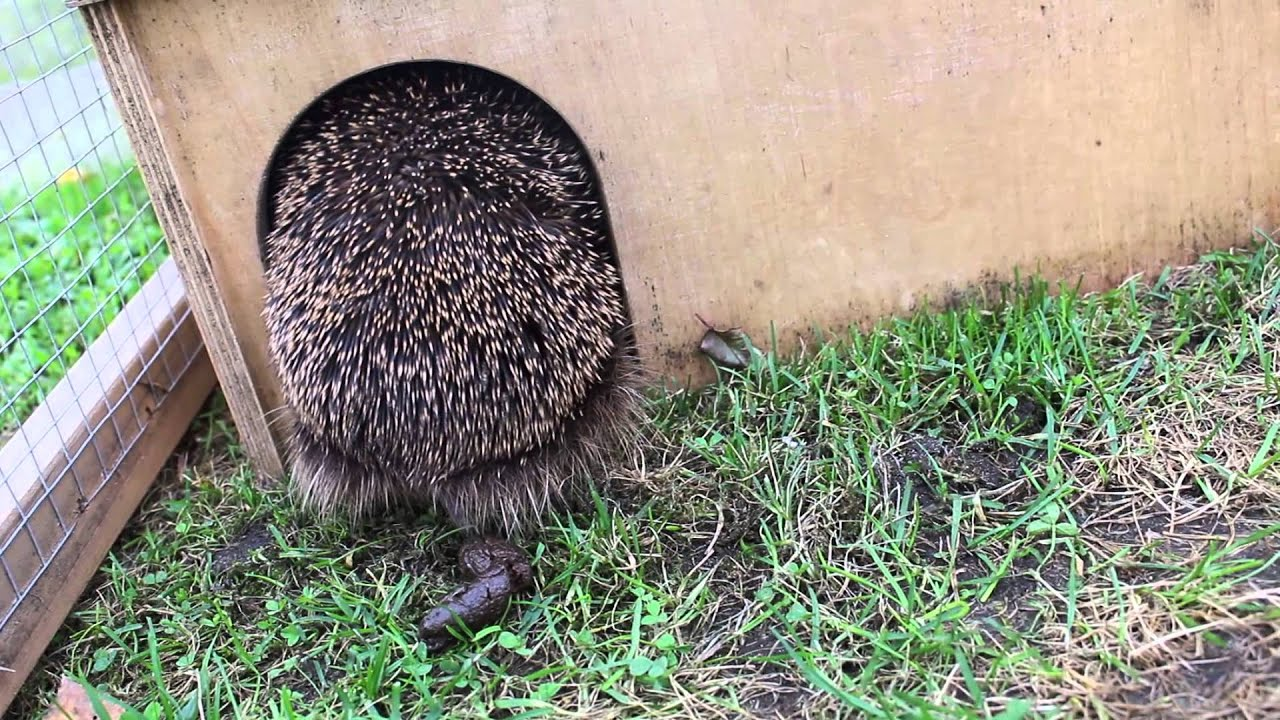 Igel Kotet /so Looks Healthy Hedgehog Poop Out