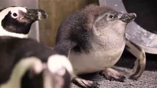 All My Penguins Season 2 Episode 1: Back to Black (and White)