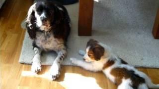 Calmingsignals Spaniel And Kooikerhondje Puppy