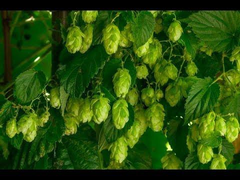 выращиваем ароматный хмель для пива №1