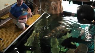 Arapaima Feeding at the Tennessee Aquarium