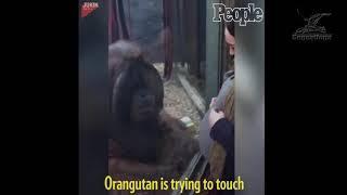 Беременная женщина подошла к орангутангу,  реакция животного чудесна