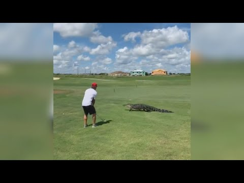 None - VIDEO: Alligator Casually Strolls Past Golfer On Florida Course