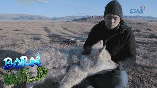 Born to Be Wild: A local resident in Mongolia takes care of two gray wolves