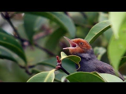 Download Lagu Suara pikat burung prenjak durasi panjang Ampuh untuk memikat burung prenjak liar
