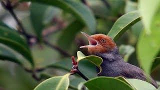 Suara pikat burung prenjak durasi panjang Ampuh untuk memikat burung prenjak liar