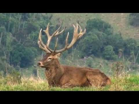 Deer Hunting Head With 243 Win Neck Shot For Venison Recovery  # 22 New Zealand