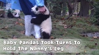 Baby Pandas Took Turns To Hold The Nanny's Leg   iPanda