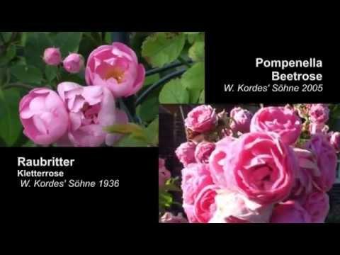 raubritter rose und pompenella rose youtube. Black Bedroom Furniture Sets. Home Design Ideas