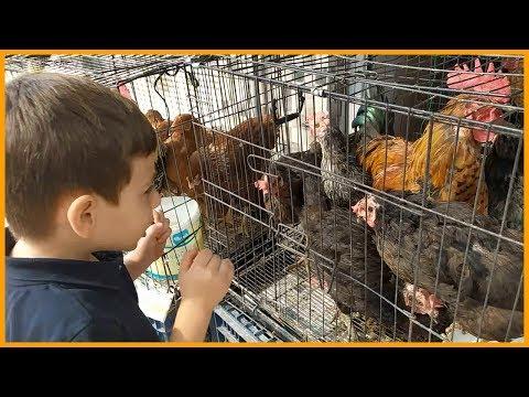 Kahraman Horoz Ve Tavukları Görünce Çok Sevindi - Gıt Gıt Gıdak Kümes Hayvanları | Çocuk Videosu
