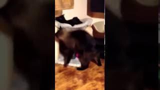 Яша задирает Багиру