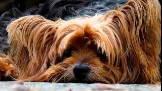 Yorkshire Terrier, Ladrando, Sonido De Los Animales, Chanel Bridget