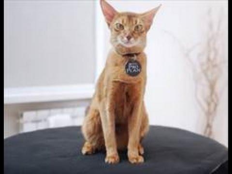 Абиссинская кошка ➠ Узнайте все о породе кошек