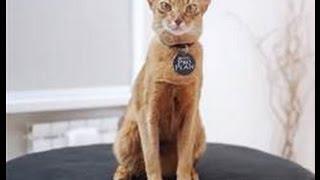 Абиссинская кошка - все о породе кошек – Purina Pro Plan Ukraine(Одна из самых древних кошачьих пород, верный домашний питомец и просто красавица! Это героиня нашего видео..., 2016-01-13T11:18:00.000Z)