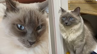 CUTE BALINESE CAT MOMENTS