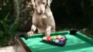 Must See! Yorkshire Terrier & Weimaraner Best Pals!